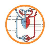 Biofeedback für Herz und Kreislauf